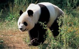 Caminhada de panda, flores