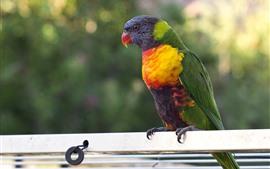 Papagaio, penas coloridas, pássaro, animal de estimação