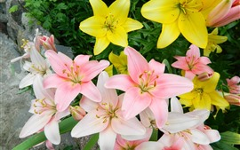 Pink and yellow lilies bloom