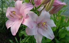 Lírios rosa florescem, pétalas, jardim