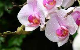 Preview wallpaper Pink orchids, water droplets, phalaenopsis