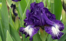 Preview wallpaper Purple iris flowers, water droplets, green leaves