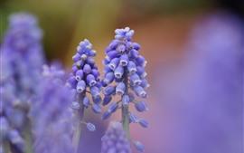 Purple muscari flowers, hazy