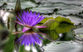 Preview wallpaper Purple water lily, pond, leaves