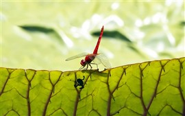 Preview wallpaper Red dragonfly, insect, green leaf, texture