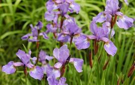 Aperçu fond d'écran Quelques iris roses
