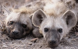 Preview wallpaper Two hyenas rest, head, nose