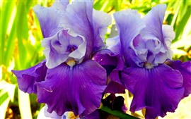 Two irises, purple petals, flowers