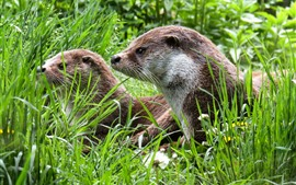 Two otters, green grass