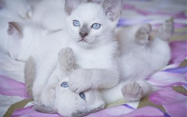 Two white kittens, blue eyes, playful