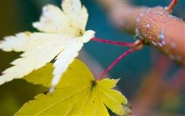 Aperçu fond d'écran Deux feuilles d'érable jaune, branche d'arbre