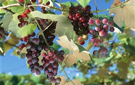 Unripe red grapes, leaves