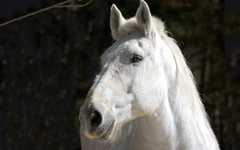 Preview wallpaper White horse, face, black background