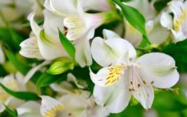 미리보기 배경 화면 흰 백합, 꽃, 꽃잎, 매크로 사진