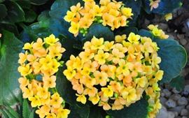 Yellow kalanchoe flowers