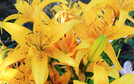 Yellow lily flowers, petals, bloom
