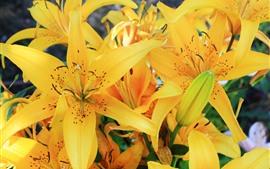 Lírio amarelo flores, pétalas, flor