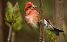 壁紙のプレビュー 美しい鳥、頭の上の赤い羽