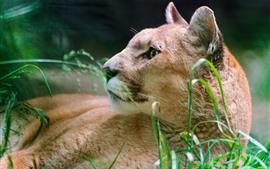 Puma, descanso, grama, olhar