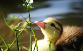 Cute duckling, look at flower