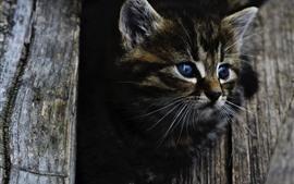 Gatinho cinzento bonito, olhos azuis, olhar, madeira