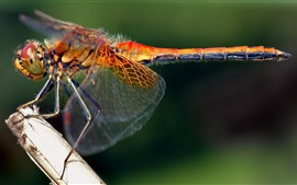 Preview wallpaper Dragonfly close-up, wings, insect