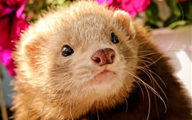 Ferret, face, nose