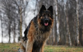 Preview wallpaper German shepherd, front view, look, hazy background