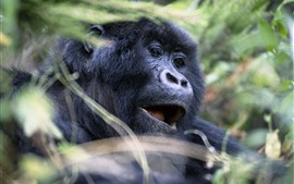 Preview wallpaper Gorilla, face, wildlife