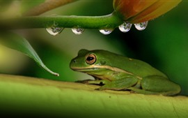 Aperçu fond d'écran Grenouille verte, fleur, tige, gouttelettes d'eau