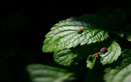 Preview wallpaper Green leaves, ladybugs, black background