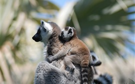 Preview wallpaper Lemur mother and cub