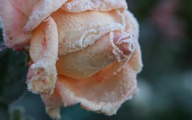 Preview wallpaper Light pink rose close-up, frost, cold