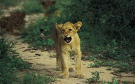 Filhote de leão crescendo