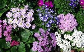 Много хризантем, розовых, белых, синих
