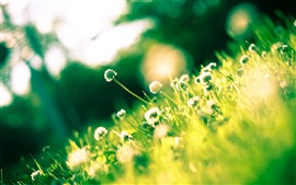 Много цветов клевера, зеленые листья, солнце, блики