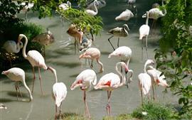 Muitos flamingos, pássaros, rio
