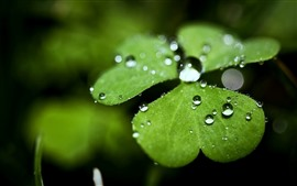 Preview wallpaper One green clover leaf, water droplets