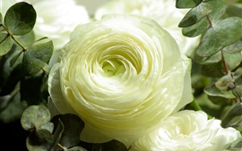 Preview wallpaper One white rose close-up, petals, leaves