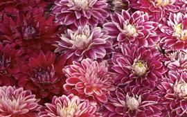 Розовые хризантемы, капли воды
