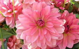 Preview wallpaper Pink dahlia, petals, flowers close-up