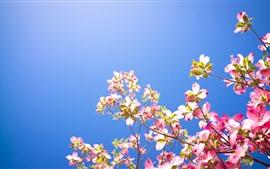 Dogwood rosa flores, céu azul