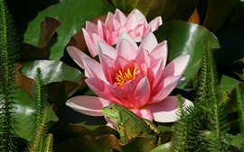 Preview wallpaper Pink water lily flowers, frog