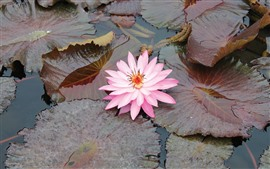 Preview wallpaper Pink water lily, petals, leaves, pond