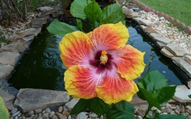 Preview wallpaper Red and yellow hibiscus