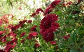 Красные хризантемы, дымка