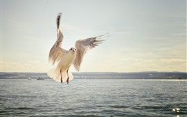 Seagull, flight, wings, sea