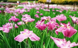 Preview wallpaper Some pink irises flowers