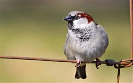 Preview wallpaper Sparrow, wire