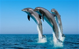 Três golfinhos pulando, mar, respingos de água